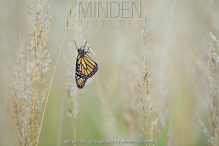 Monarch (Danaus plexippus) butterfly resting on grass in meadow, East Coast, USA  -  Ingo Arndt