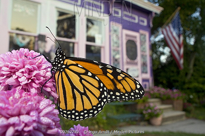 Monarch (Danaus plexippus) butterfly resting on flower in a front yard during migration, Cape May, New Jersey  -  Ingo Arndt
