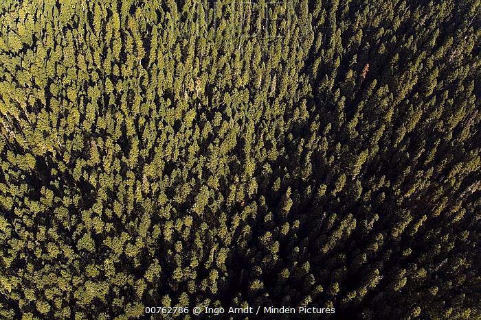 Monarch (Danaus plexippus) butterfly overwintering site in highland forest, Michoacan, Mexico  -  Ingo Arndt