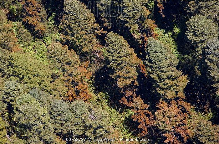 Monarch (Danaus plexippus) butterflies in trees, El Rosario, Michoacan, Mexico  -  Ingo Arndt