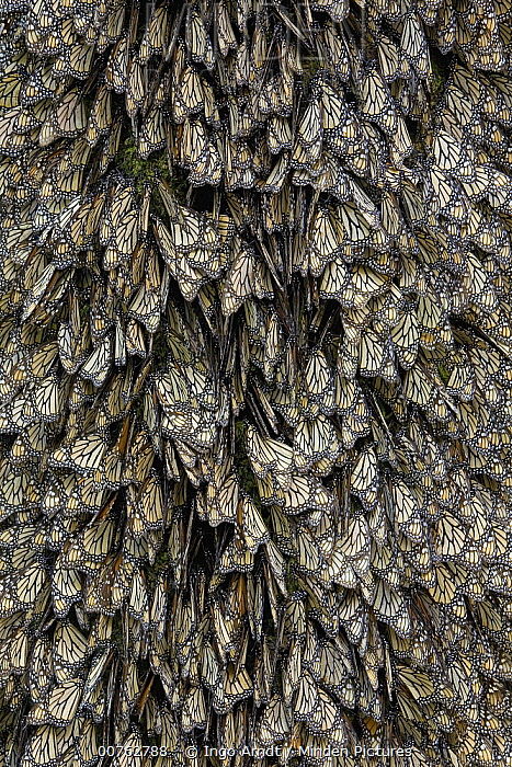 Monarch (Danaus plexippus) butterflies with closed wings in overwintering colony, Michoacan, Mexico  -  Ingo Arndt