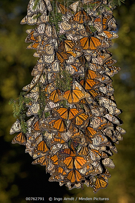 Monarch (Danaus plexippus) butterfly cluster, some individuals are basking while most have their wings closed, Michoacan, Mexico  -  Ingo Arndt