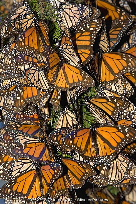 Monarch (Danaus plexippus) butterflies basking in the midday sun, Michoacan, Mexico  -  Ingo Arndt