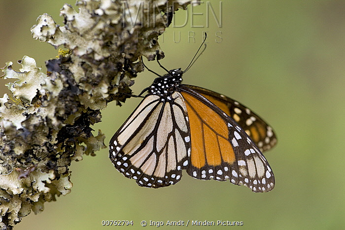 Monarch (Danaus plexippus) butterfly basking in the midday sun, Michoacan, Mexico  -  Ingo Arndt