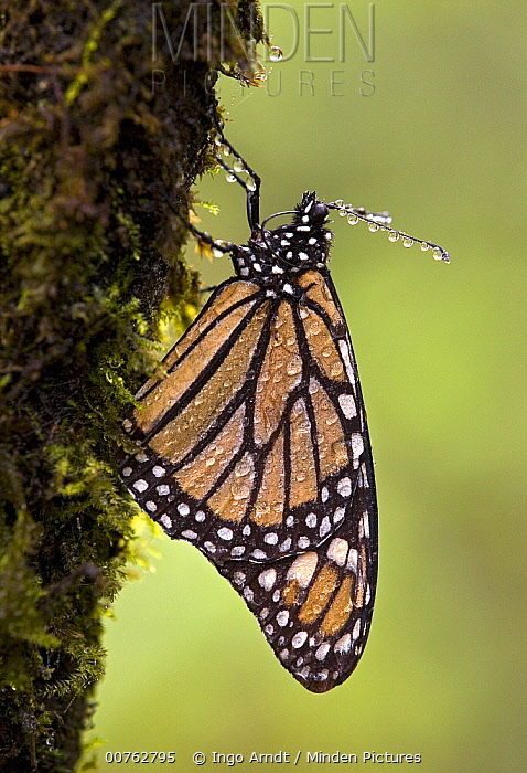 Monarch (Danaus plexippus) butterfly drinking by using its proboscis to sip water from its body, USA  -  Ingo Arndt