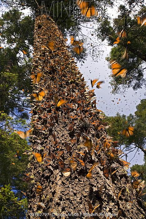 Monarch (Danaus plexippus) butterfly overwintering colony, Michoacan, Mexico  -  Ingo Arndt