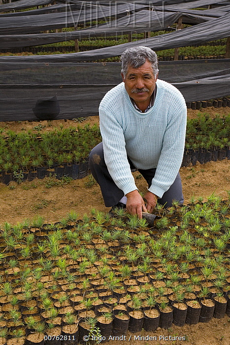 Monarch (Danaus plexippus) butterfly habitat restoration, man holding plants that will be used to replant areas of forest to re-establish overwintering sites, Michoacan, Mexico  -  Ingo Arndt