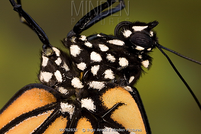 Monarch (Danaus plexippus) butterfly newly emerged, North America  -  Ingo Arndt