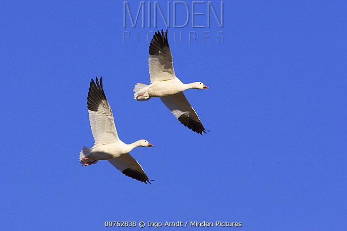 Snow Goose (Chen caerulescens) pair flying, Bosque del Apache National Wildlife Refuge, New Mexico  -  Ingo Arndt