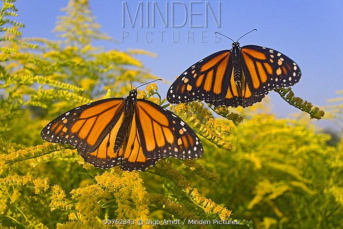 Monarch (Danaus plexippus) butterflies feeding on nectar of Goldenrod during migration, East Coast, North America  -  Ingo Arndt