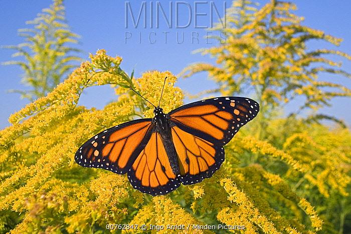 Monarch (Danaus plexippus) butterfly feeding on nectar of Goldenrod during migration, East Coast, USA  -  Ingo Arndt