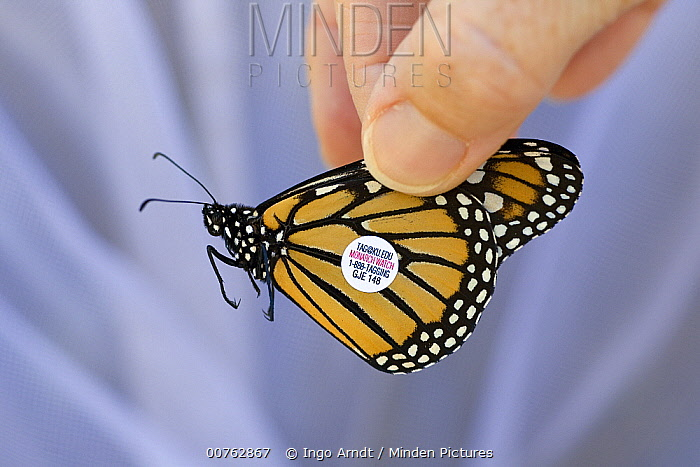Monarch (Danaus plexippus) butterfly tagged by scientists to find out more about migratory flight routes and patterns, Cape May, New Jersey  -  Ingo Arndt