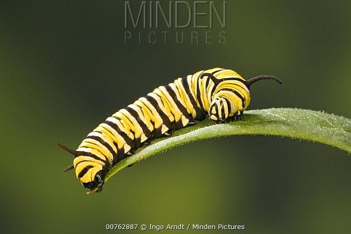 Monarch (Danaus plexippus) butterfly caterpillar feeding on Milkweed (Asclepias sp) leaf, Cape May, New Jersey  -  Ingo Arndt