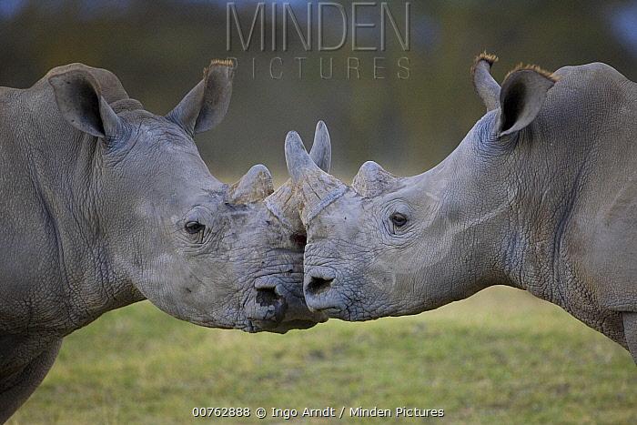 White Rhinoceros (Ceratotherium simum) males facing off, Lake Nakuru, Kenya  -  Ingo Arndt