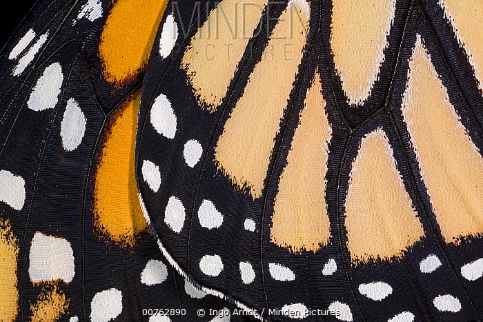 Monarch (Danaus plexippus) butterfly wing of newly hatched animal, USA  -  Ingo Arndt