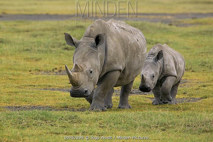 White Rhinoceros (Ceratotherium simum) mother with juvenile, Lake Nakuru, Kenya  -  Ingo Arndt