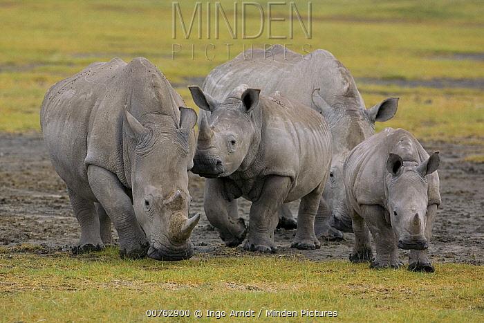 White Rhinoceros (Ceratotherium simum) adults, juvenile, and calf, Lake Nakuru, Kenya  -  Ingo Arndt