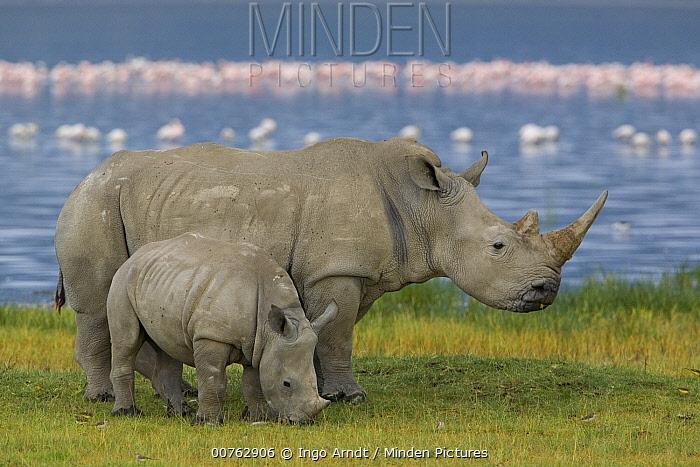 White Rhinoceros (Ceratotherium simum) mother and juvenile, Lake Nakuru, Kenya  -  Ingo Arndt