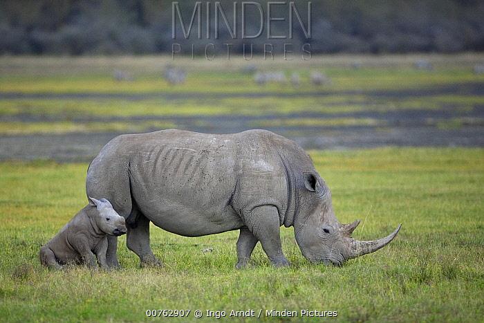 White Rhinoceros (Ceratotherium simum) mother and calf, Lake Nakuru, Kenya  -  Ingo Arndt