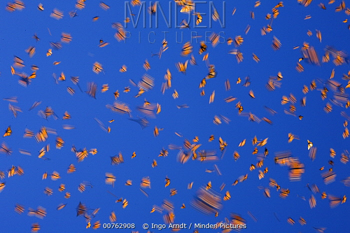 Monarch (Danaus plexippus) butterflies flying during a warm day, Michoacan, Mexico  -  Ingo Arndt