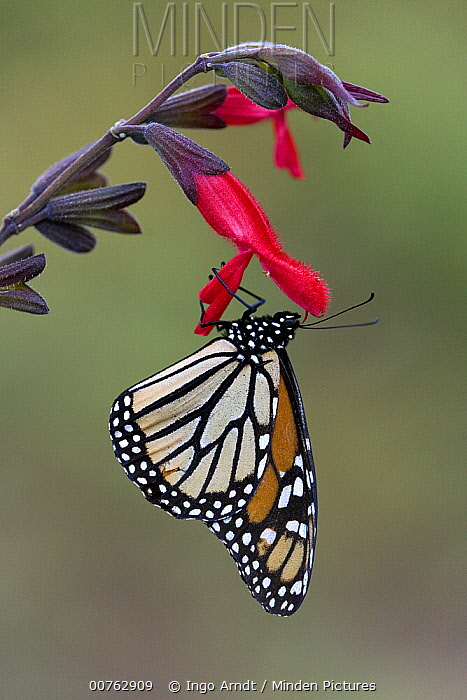 Monarch (Danaus plexippus) butterfly resting on flower in overwintering area, Michoacan, Mexico  -  Ingo Arndt