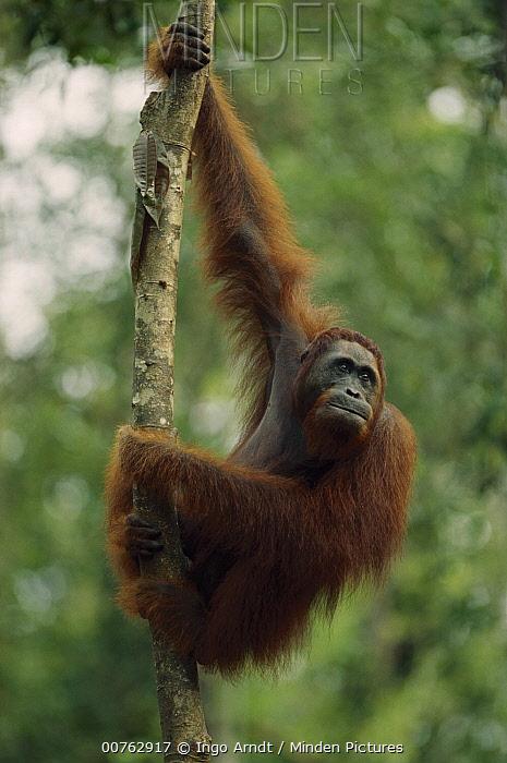 Orangutan (Pongo pygmaeus) female, Tanjung Puting National Park, Borneo  -  Ingo Arndt