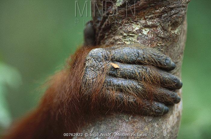 Orangutan (Pongo pygmaeus) hand, Tanjung Puting National Park, Borneo  -  Ingo Arndt