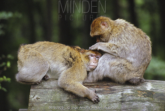 Barbary Macaque (Macaca sylvanus) pair grooming, native to Algeria and Morocco  -  Ingo Arndt
