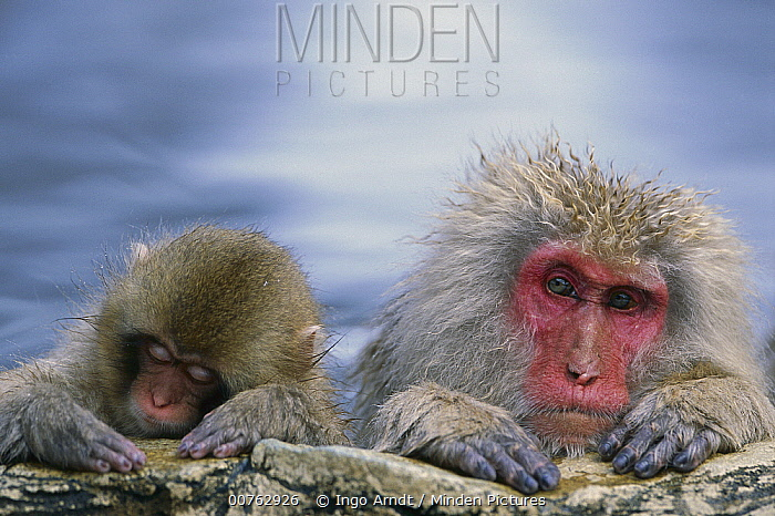 Japanese Macaque (Macaca fuscata) mother and juvenile in hot spring, Joshinetsu Plateau National Park, Japan  -  Ingo Arndt