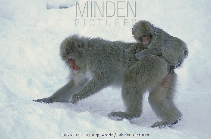 Japanese Macaque (Macaca fuscata) mother with baby foraging, Joshinetsu Plateau National Park, Japan  -  Ingo Arndt
