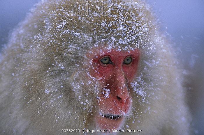 Japanese Macaque (Macaca fuscata) portrait, Joshinetsu Plateau National Park, Japan  -  Ingo Arndt
