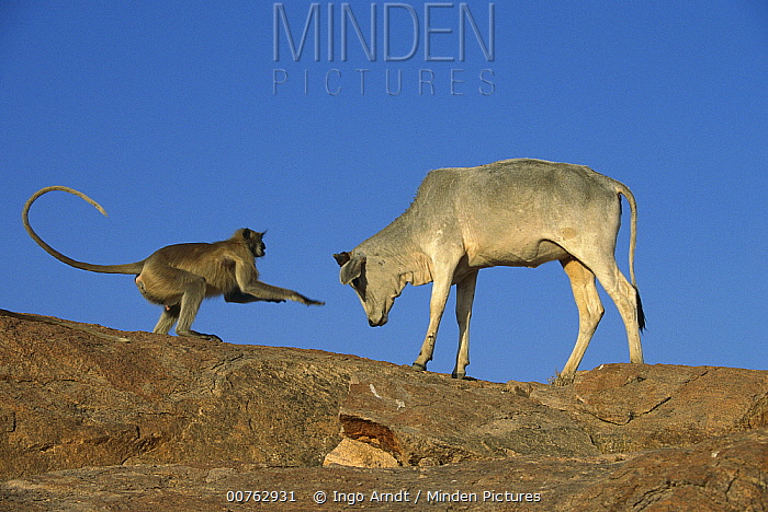 Hanuman Langur (Semnopithecus entellus) playing with cow, India  -  Ingo Arndt