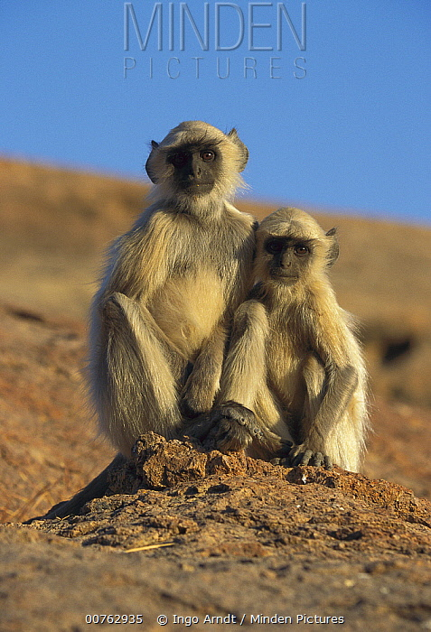 Hanuman Langur (Semnopithecus entellus) pair of juveniles, India  -  Ingo Arndt