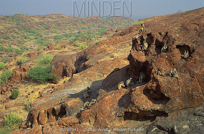 Hanuman Langur (Semnopithecus entellus) group on hillside, Jodhpur, India  -  Ingo Arndt