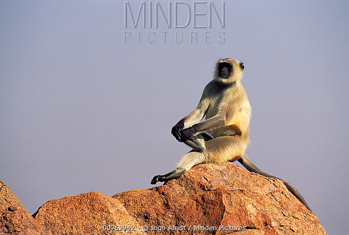 Hanuman Langur (Semnopithecus entellus) sitting on rock, Jodhpur, India  -  Ingo Arndt