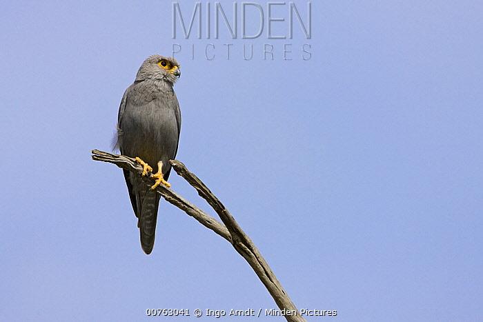 Grey Krestrel (Falco ardosiaceus), Masai Mara National Reserve, Kenya  -  Ingo Arndt