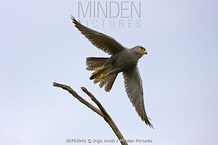 Grey Krestrel (Falco ardosiaceus) taking flight, Masai Mara National Reserve, Kenya  -  Ingo Arndt