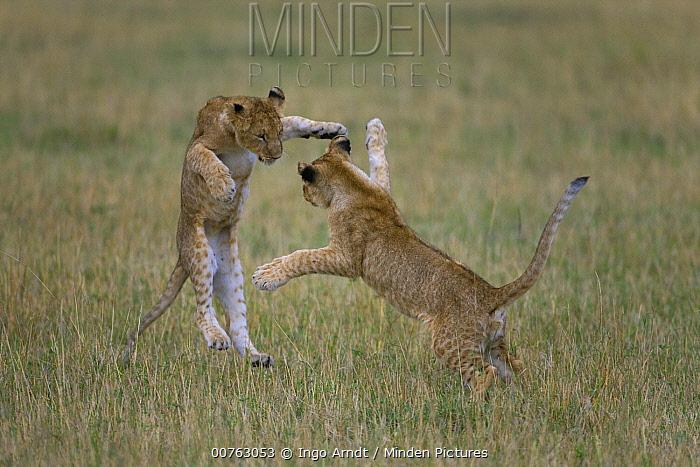 African Lion (Panthera leo) juveniles play fighting, Masai Mara National Reserve, Kenya  -  Ingo Arndt