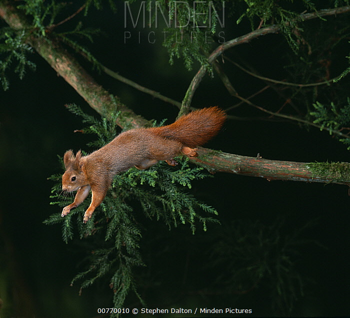 Eurasian Red Squirrel (Sciurus vulgaris) leaping out of Yew (Taxus sp) tree  -  Stephen Dalton
