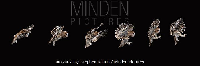 Tawny Owl (Strix aluco) flying, multiflash image  -  Stephen Dalton