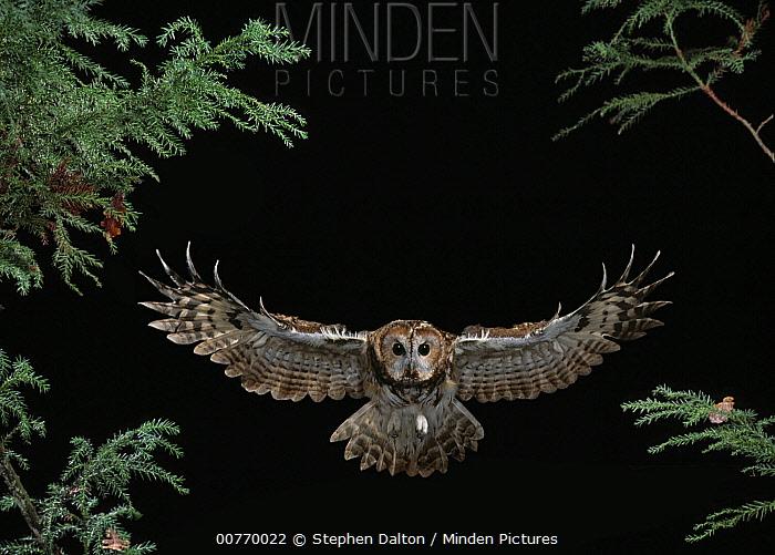 Tawny Owl (Strix aluco) flying  -  Stephen Dalton