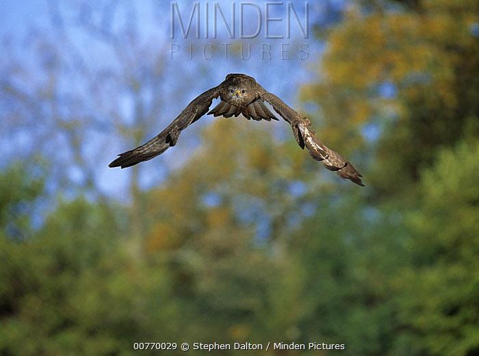 Common Buzzard (Buteo buteo) flying  -  Stephen Dalton
