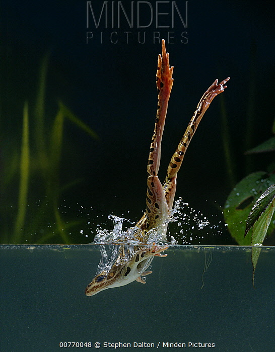 Northern Leopard Frog (Rana pipiens) diving into water  -  Stephen Dalton
