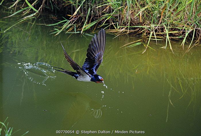 Barn Swallow (Hirundo rustica) drinking while flying, West Sussex, England  -  Stephen Dalton