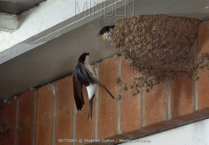 Common House Martin (Delichon urbicum) visiting chick in nest  -  Stephen Dalton