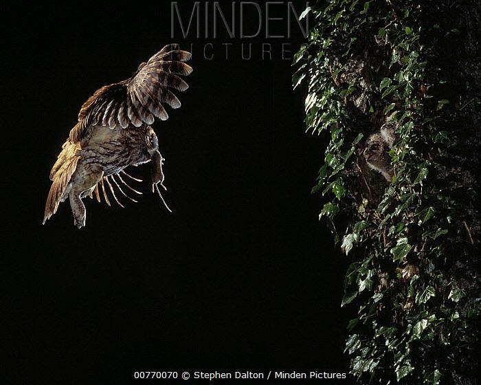 Tawny Owl (Strix aluco) flying bringing prey to young  -  Stephen Dalton