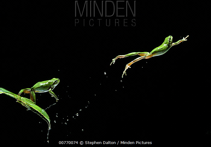 European Tree Frog (Hyla arborea) leaping multiflash, two images  -  Stephen Dalton