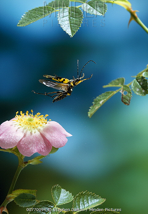 Spotted Longhorn Beetle (Strangalia maculata) flying from rose  -  Stephen Dalton