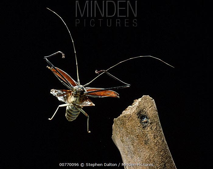 Harlequin Beetle (Acrocinus longimanus) flying, Venezuela  -  Stephen Dalton