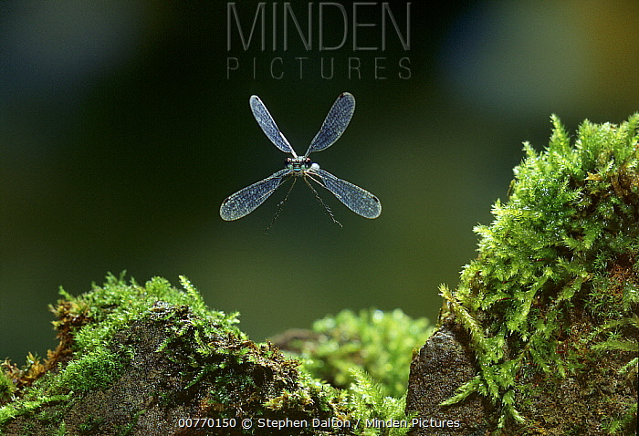 Emerald Damselfly (Lestes sponsa) flying  -  Stephen Dalton